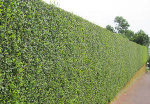 hedge-cutting-maintenance-south-kensington